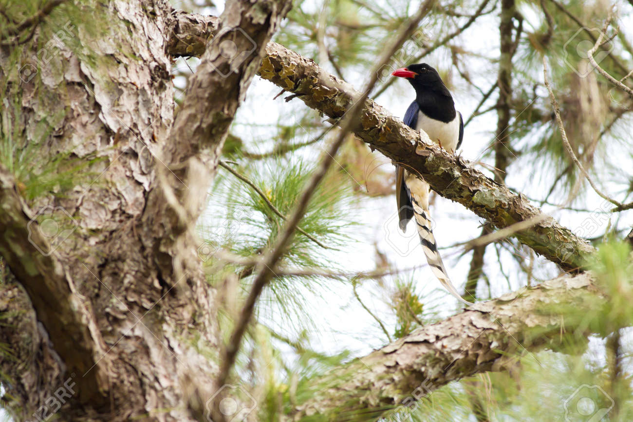 Blue magpie, Red-billed Blue magpie hold on pine branch Stock Photo - 17628439