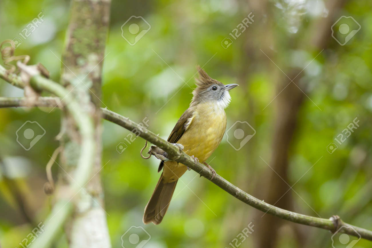 bulbul, Pull-throated bulbul on a tree branch Stock Photo - 17628459