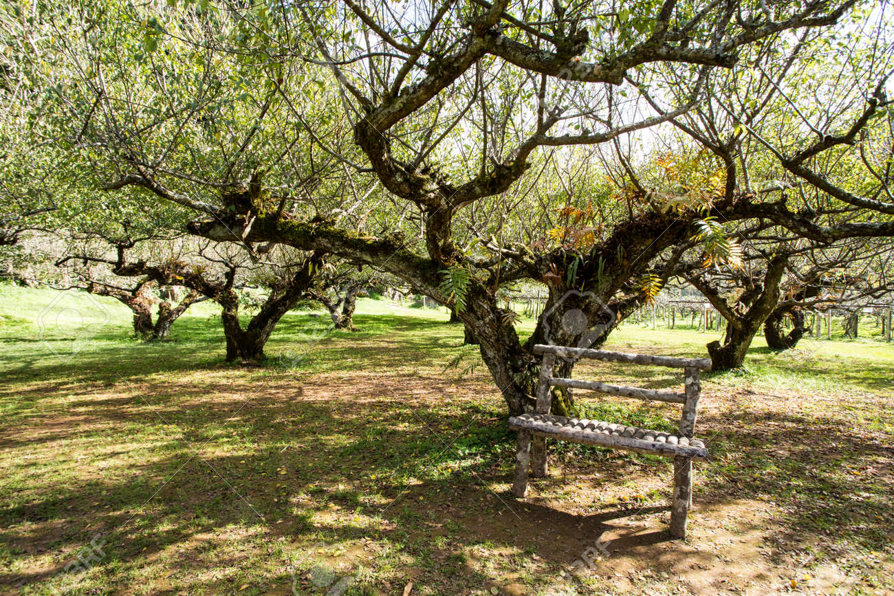 Plum Tree, A Garden Of Plum Tree Agriculture In Thailand Stock Photo ...