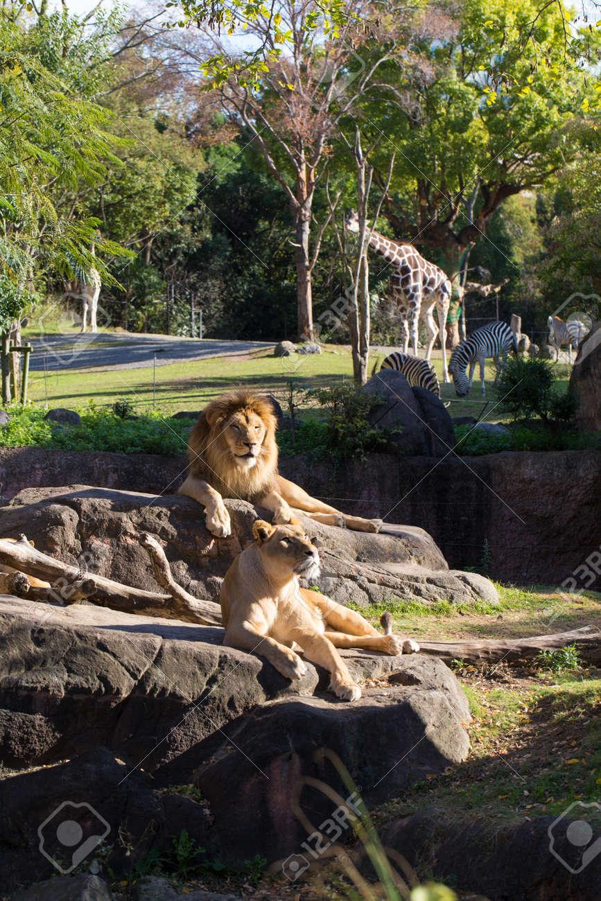 Leo weiblich, die ein Leo-Männchen