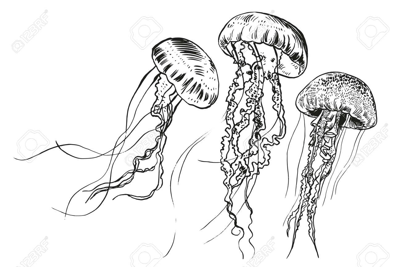 hand drawn jellyfish vector illustration sea collection royalty rh 123rf com jellyfish vector download jellyfish factory graphing