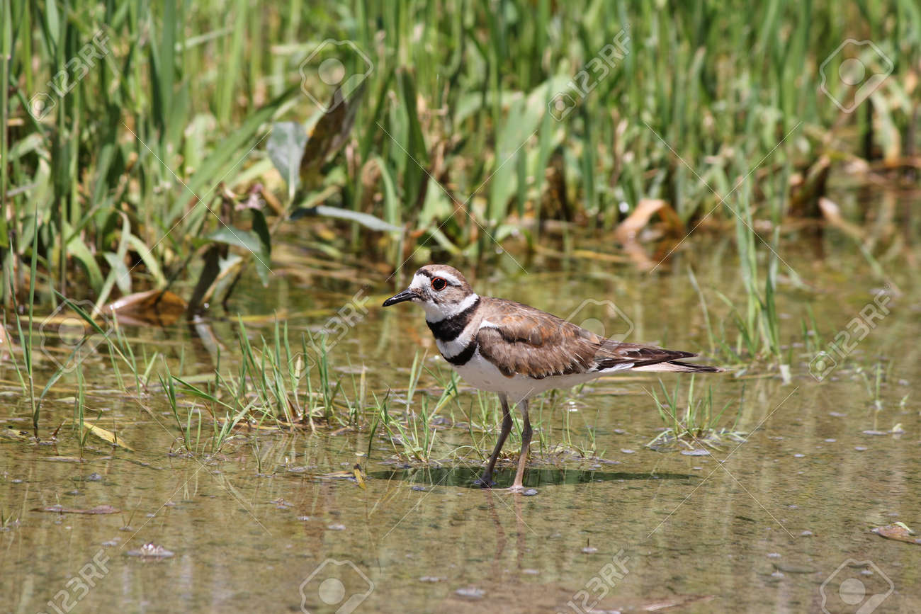 Killdeer in a puddle of water at the side of a rural roadway left by recent rains  It is a medium-sized plover  They mainly eat insects Stock Photo - 20410889