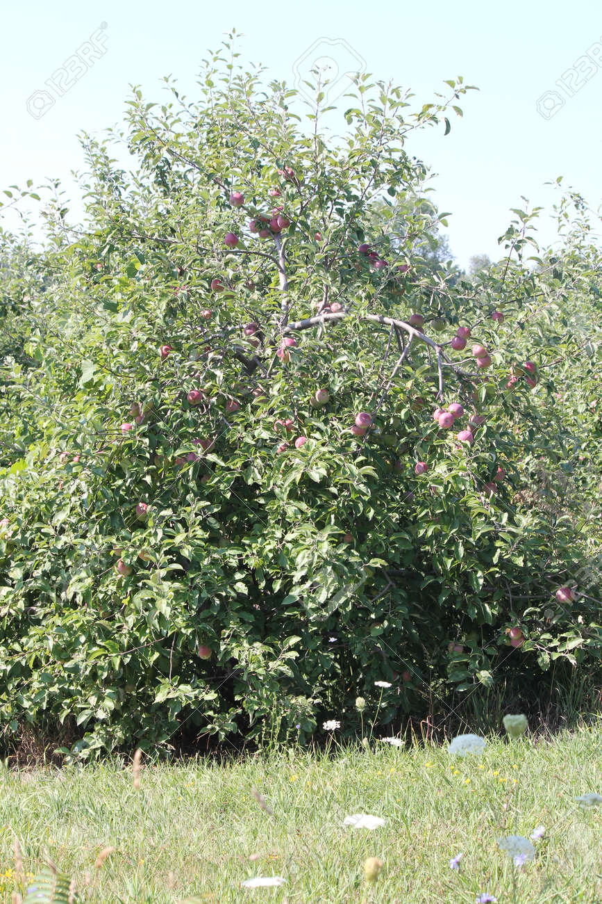 Apple trees laden with nearly ripe apples almost ready for picking Stock Photo - 23216319