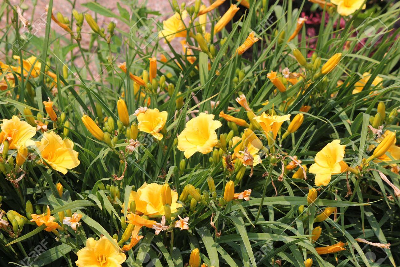 Lilainik Stella De Oro - features of cultivation