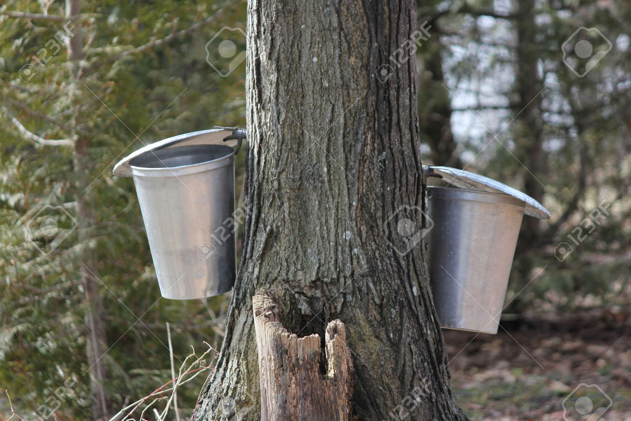 475ef833521 Sap buckets gathering sap drippings from tapped maple tree to make maple  syrup Stock Photo -