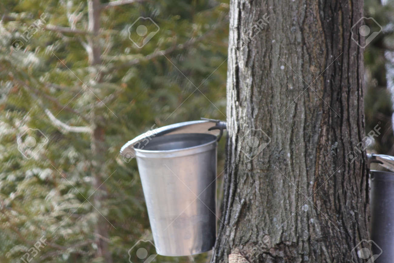 5486c71e6b8 Sap bucket gathering sap drippings from tapped maple tree to make maple  syrup Stock Photo -