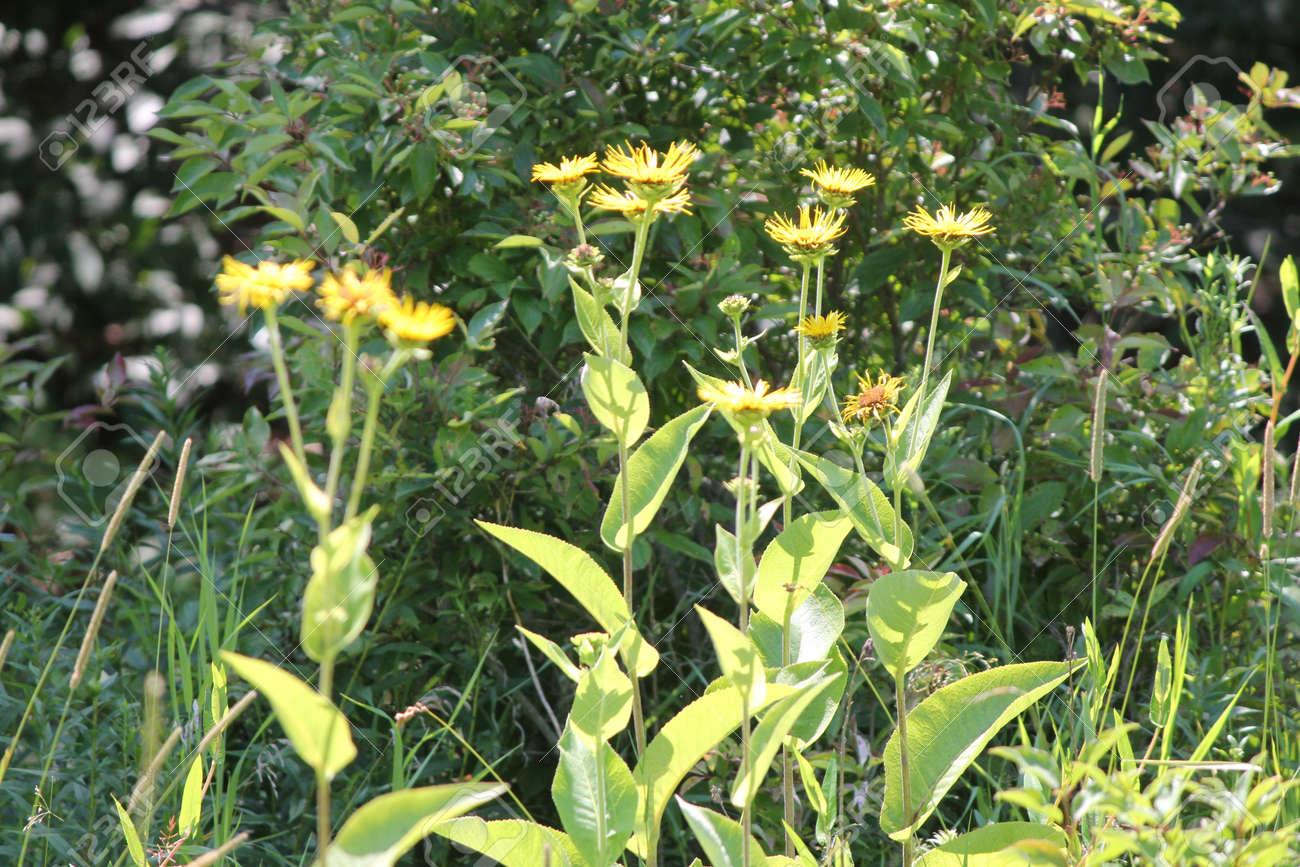 Flores Amarillas De Planta Medicinal Elecampane Inula Helenium O