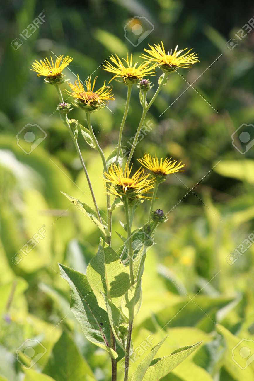Flores Amarillas De Plantas Medicinales Helenio Inula Helenium O