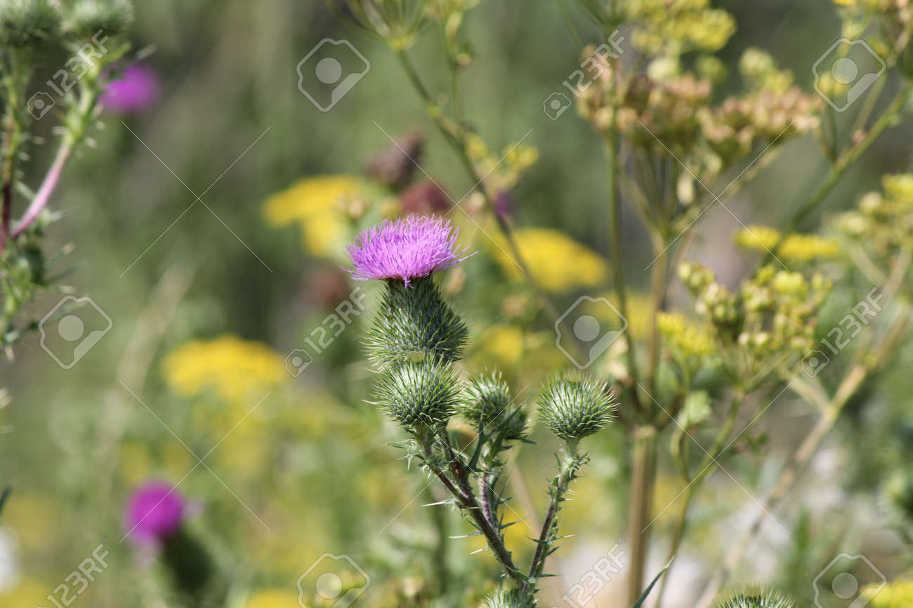 Bull Thistle Cirsium Vulgare Prickly Weed With Pretty Purple