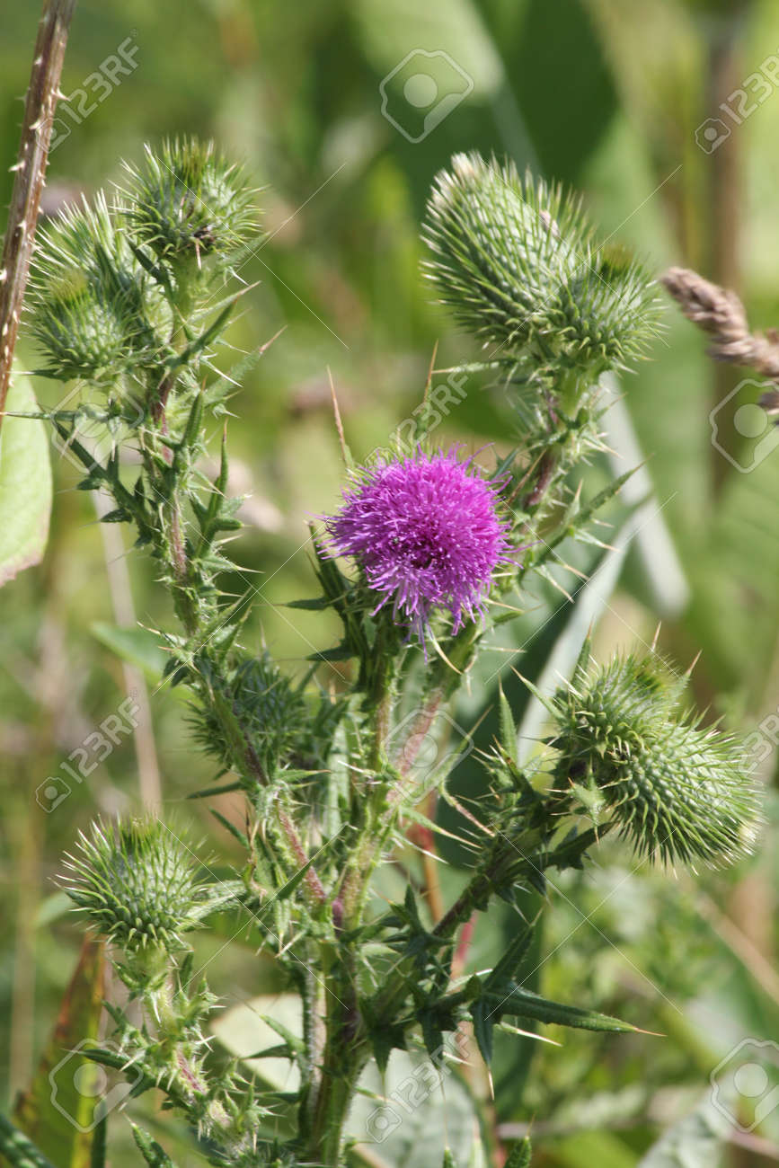 Bull Thistle Cirsium Vulgare Prickly Weed With Pretty Purple Stock Photo Picture And Royalty Free Image Image 106179620
