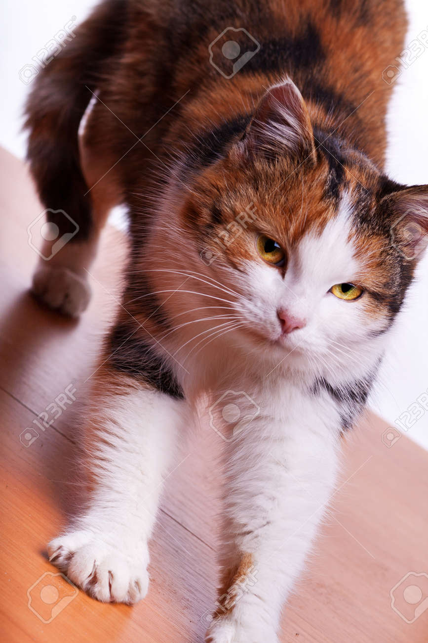 Orange Furry Cat On A Table On White Background Stock Photo, Picture ...