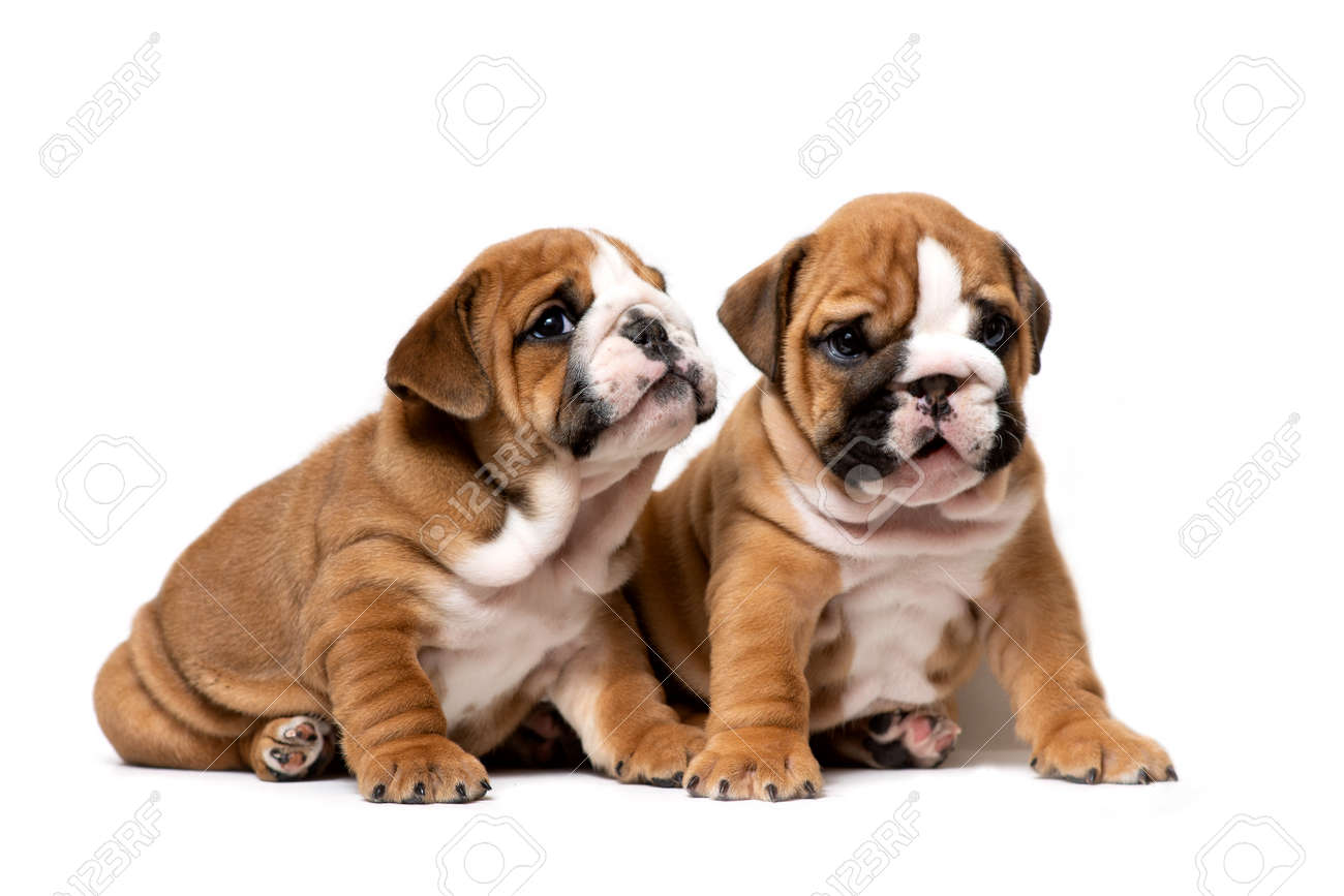 Two Cute English Bulldog Puppies Sitting Next Listening Carefully Stock Photo Picture And Royalty Free Image Image 124445341