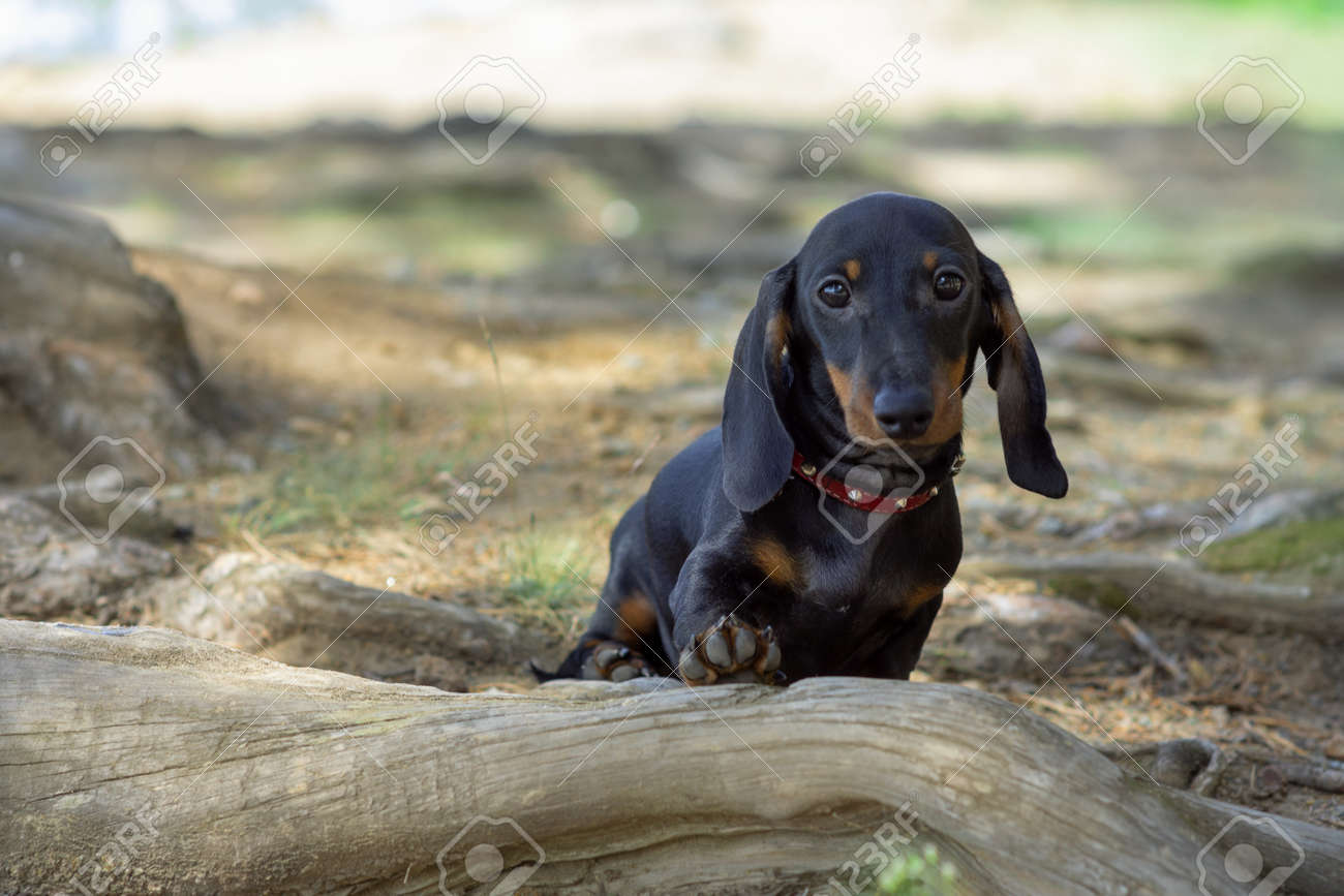 Cute And Shy Wire Haired Miniature Dachshund Puppy Posing For Stock Photo Picture And Royalty Free Image Image 130541093