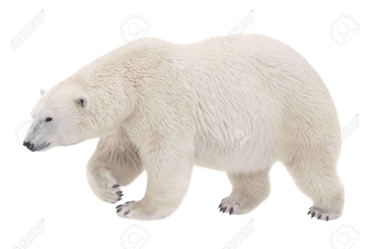bear walking on a white background stock photo picture and royalty
