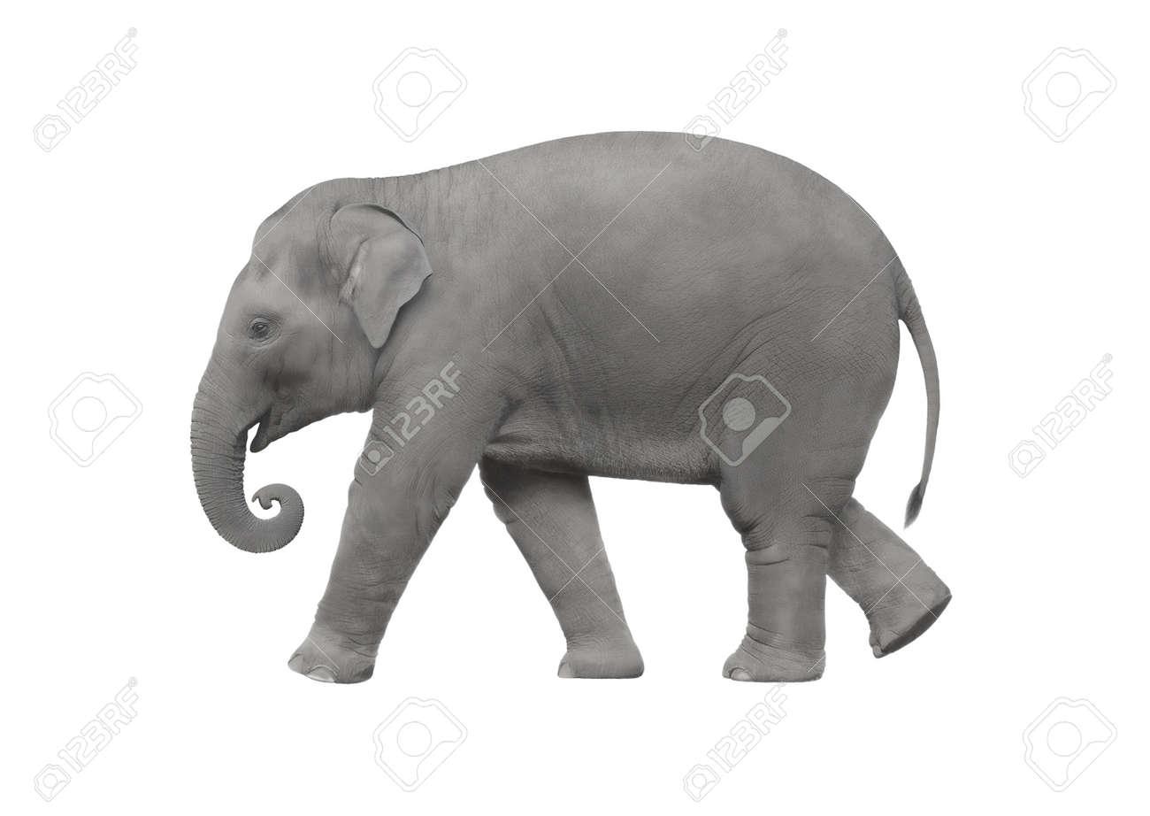Elephant walking on a white background Stock Photo - 18440645