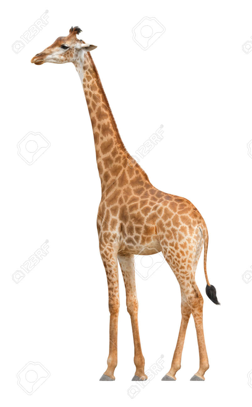 giraffe walking on a white background stock photo picture and