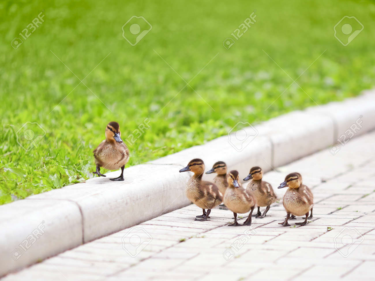 grey duck images u0026 stock pictures royalty free grey duck photos