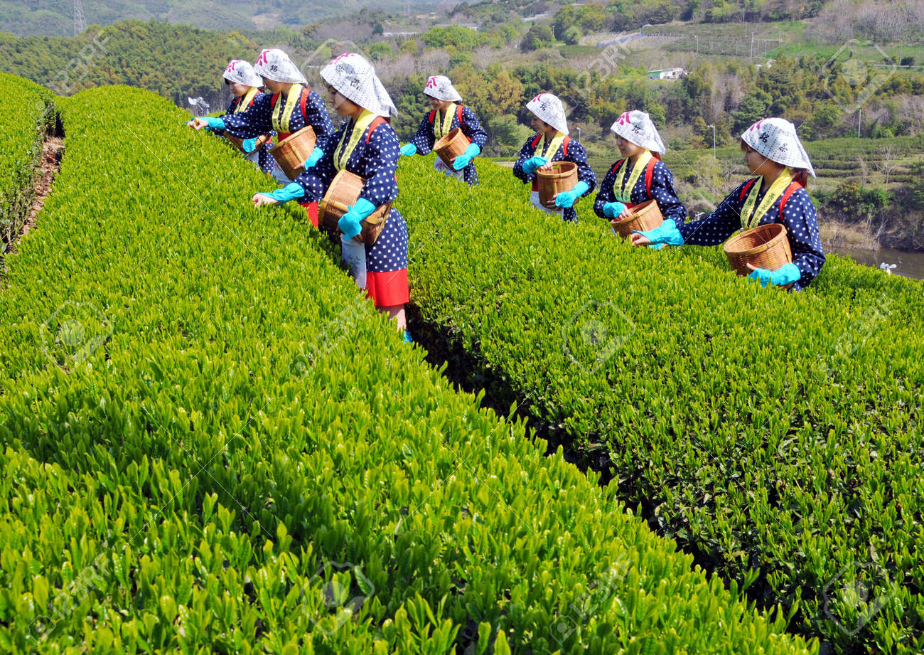 KAGAW, JAPAN - APRIL 21: Harvest in the tea fields, Young japanese female tea picker is picking freshness tea. April 21, 2008, Kagawa, Japan.  Stock Photo - 11400529