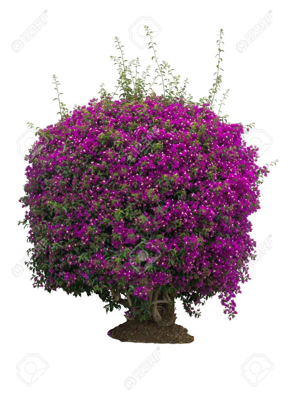 Big Bush Of Tropical Plant Bougainvillea With Purple Flowers