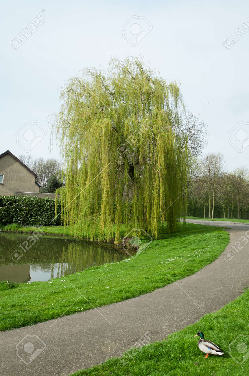 Green Weeping Willow Tree In Early Spring In A Park Near A Small Stock Photo Picture And Royalty Free Image Image 136069052