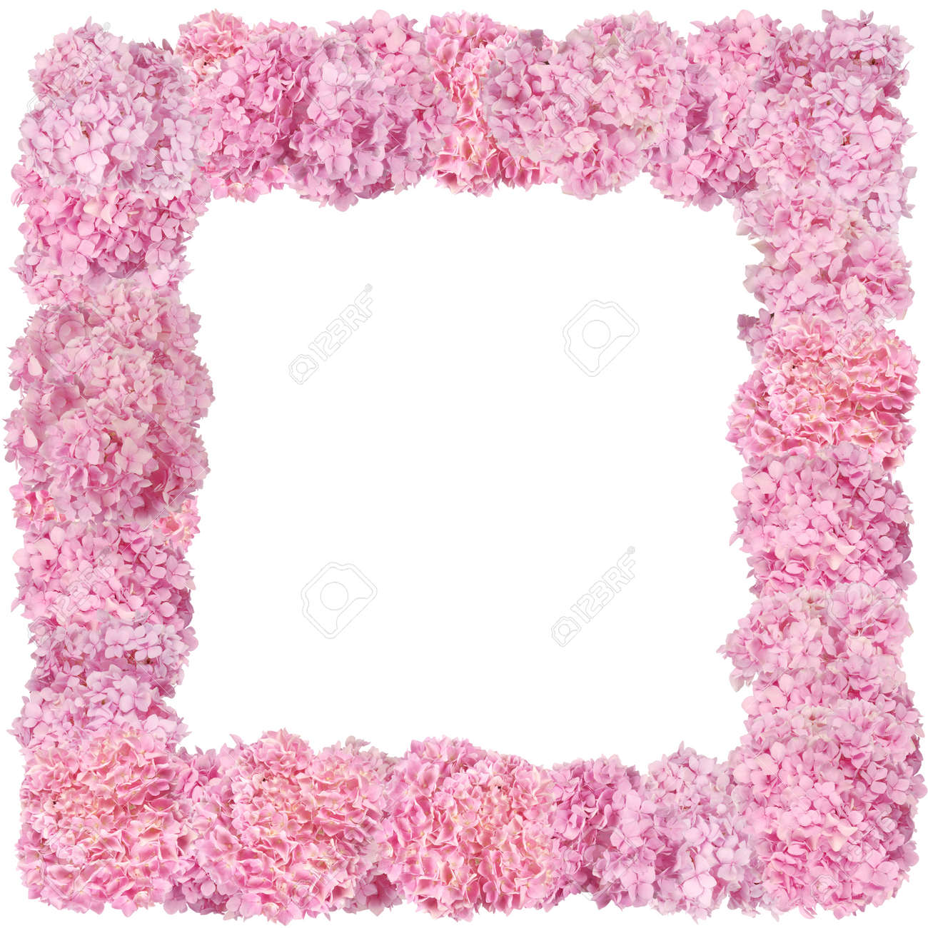 Beautiful Pink Hydrangeas Flower Frame. Natural Color. Isolated ...