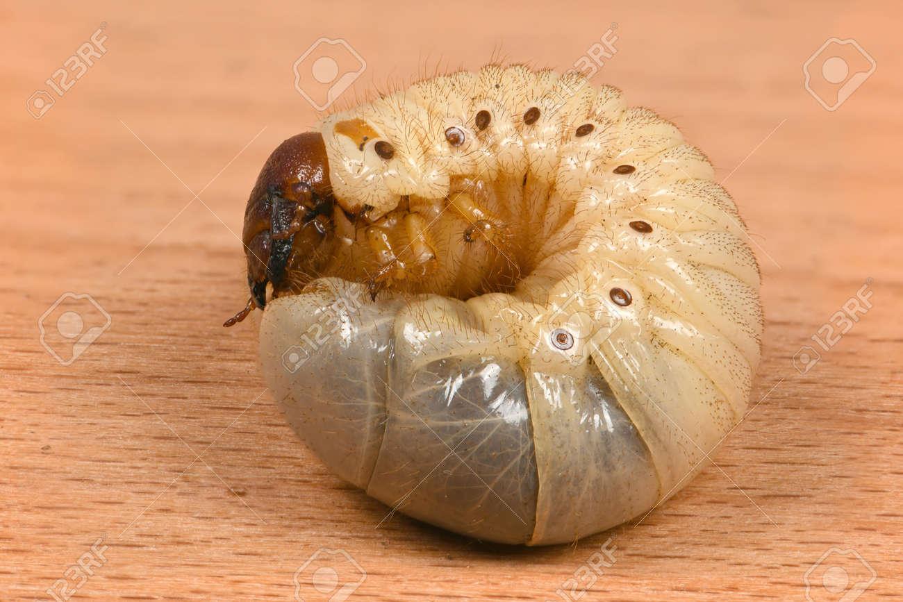 The Larvae Of The Rhinoceros Beetle Oryctes Nasicornis Beetle Stock Photo Picture And Royalty Free Image Image 122339947