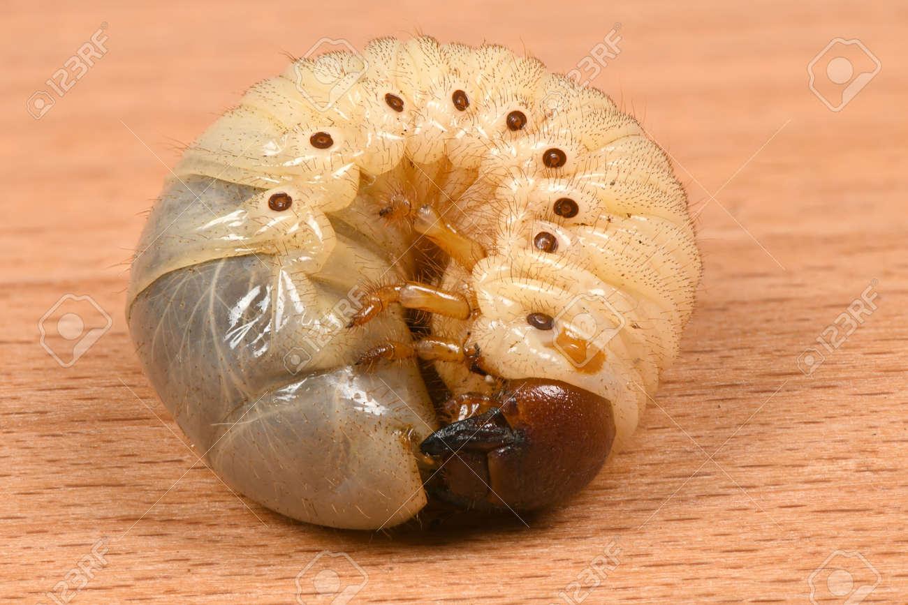 The Larvae Of The Rhinoceros Beetle Oryctes Nasicornis Beetle Stock Photo Picture And Royalty Free Image Image 123802751
