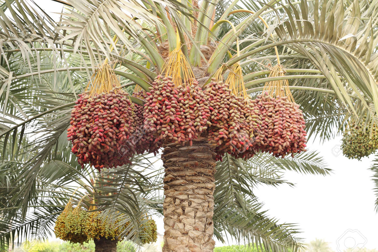 Colouful Dates Bunches All Along The Date Palm Tree Stock Photo