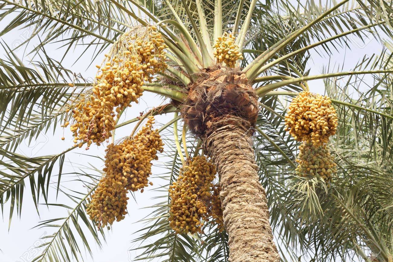 yellow dates bunches in a date palm tree stock photo picture and