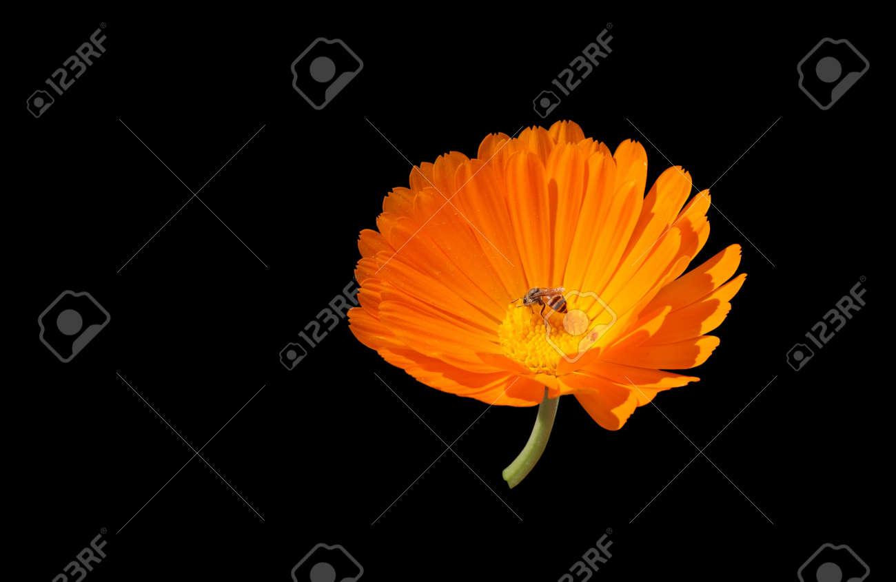 Orange Marigold Flower, Calendula Fiesta Gitana Isolated On Black ...