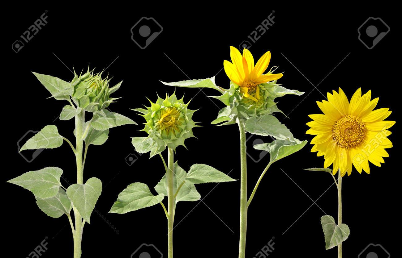Blooming of sunflower from bud to beautiful flower isolated on blooming of sunflower from bud to beautiful flower isolated on black stock photo 26750137 izmirmasajfo
