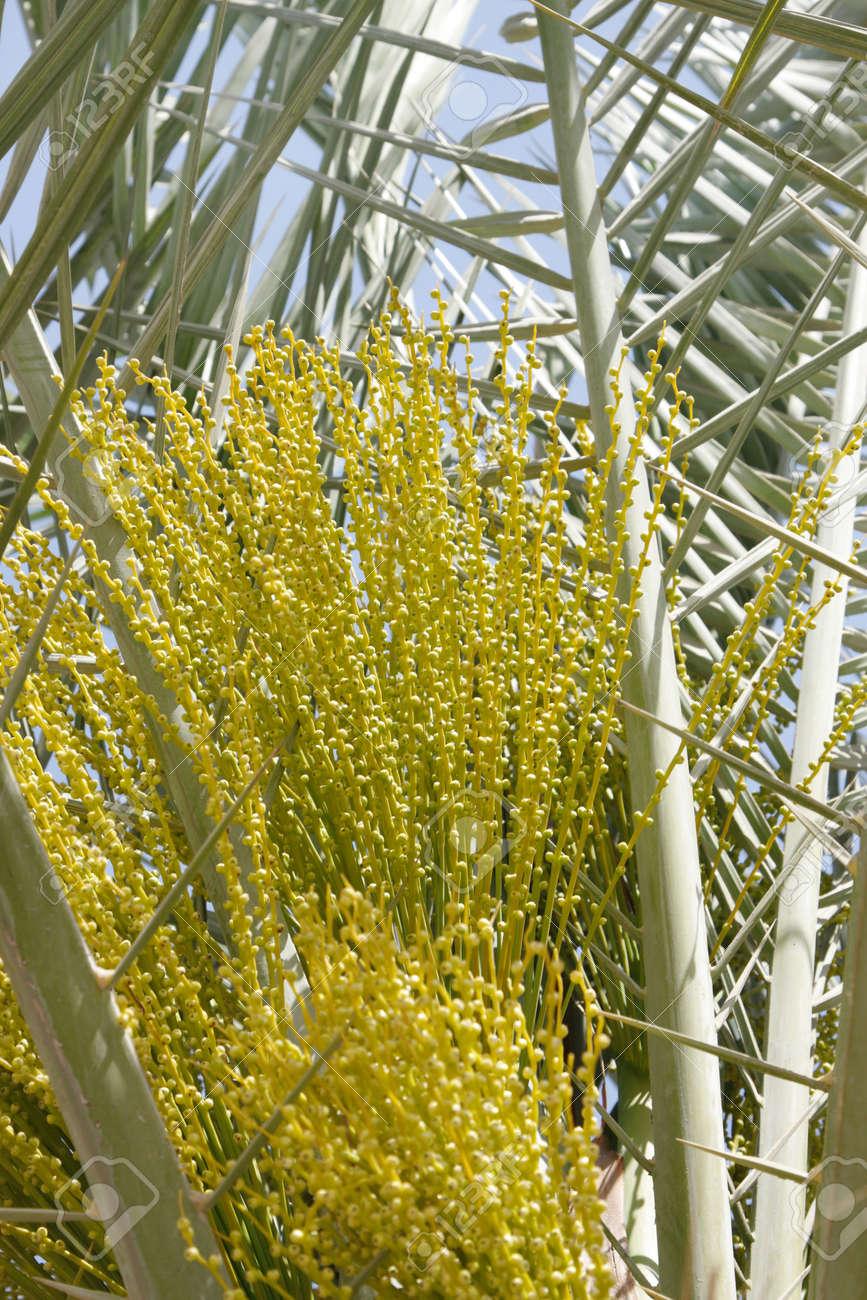 Les Fleurs Males Dans Un Palmier Dattier Banque D Images Et Photos