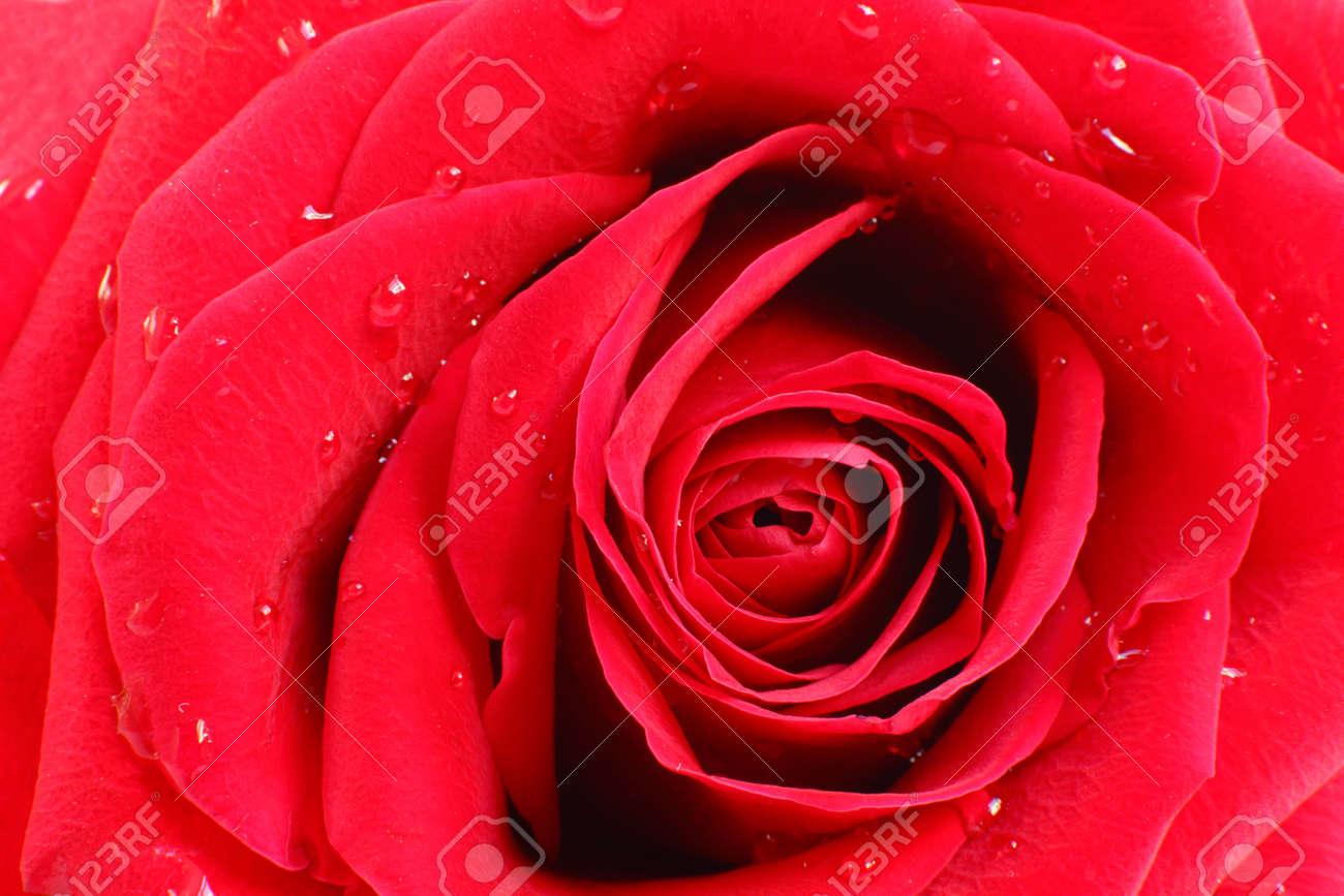 Bella Disposizione Dei Petali Di Una Rosa Rossa Uno Sguardo Più Da