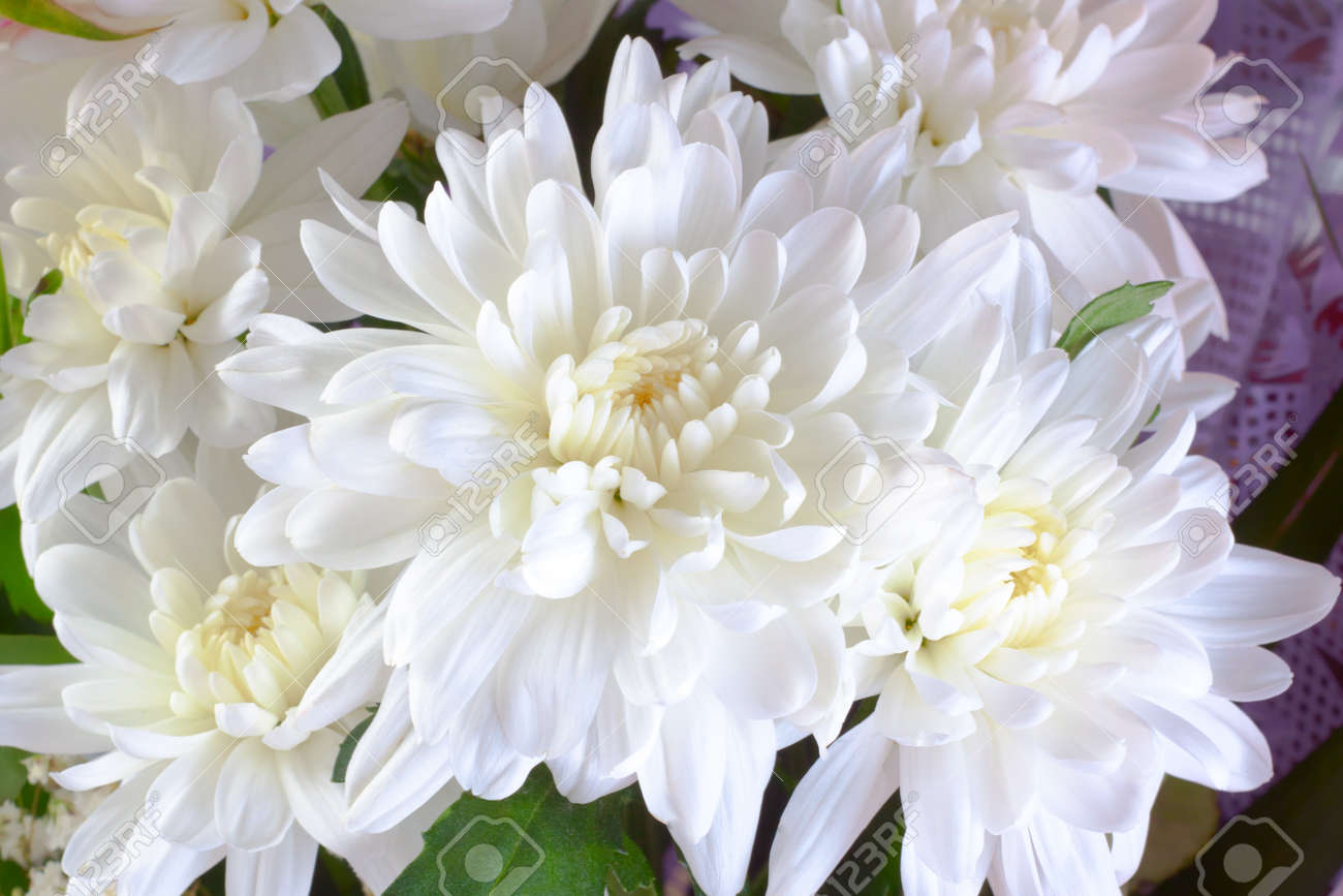 bouquet of white chrysanthemum with green leafs stock photo, Beautiful flower