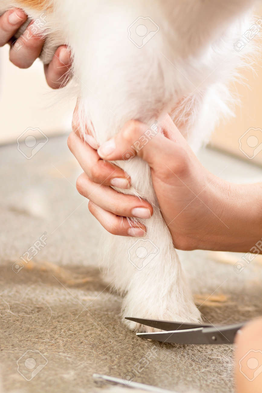 Hairdresser mows Jack Russell Terrier fur on the paw with a scissors Stock Photo - 27140821
