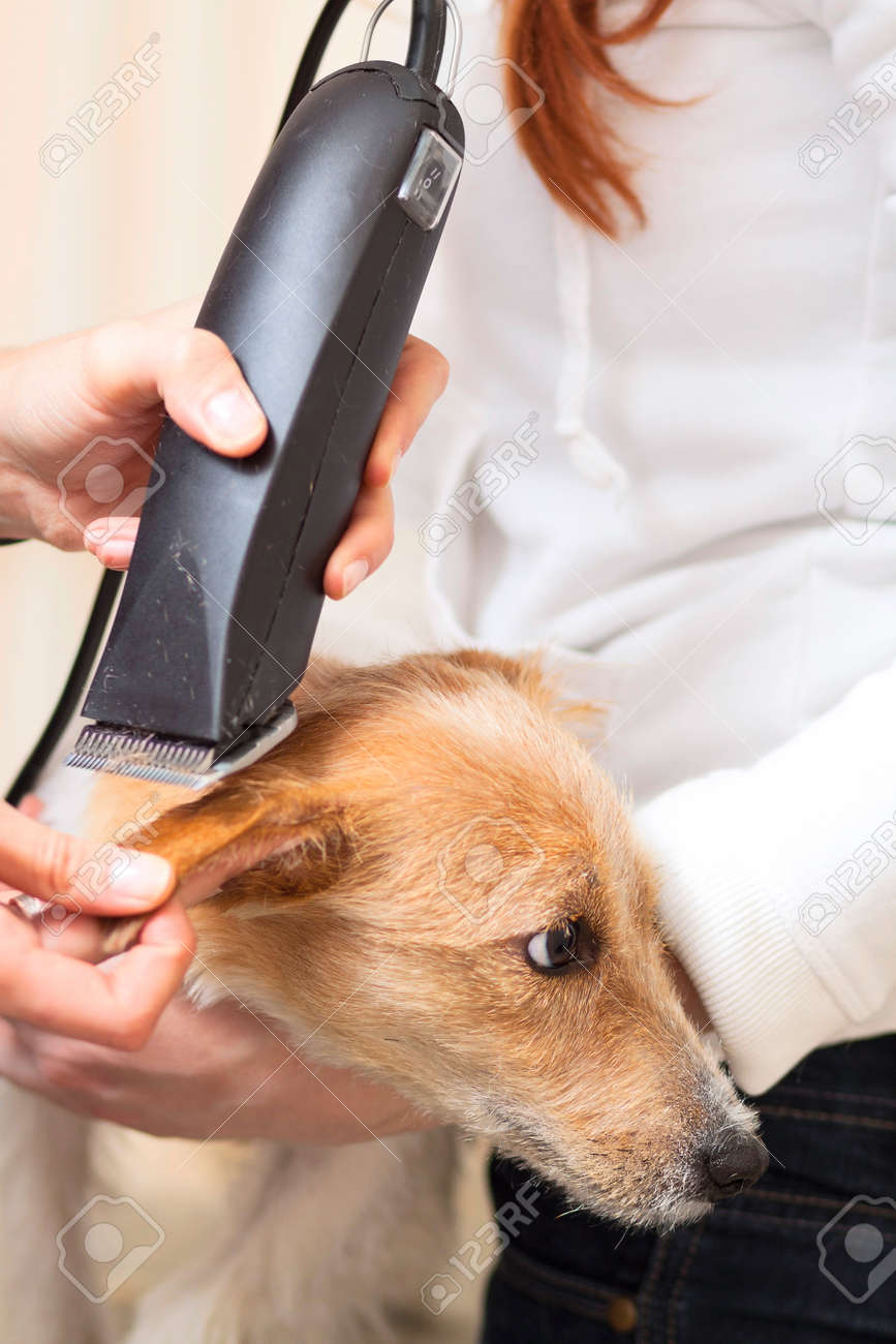 Hairdresser mows Jack Russell Terrier fur on the head with a trimmer Stock Photo - 27182096