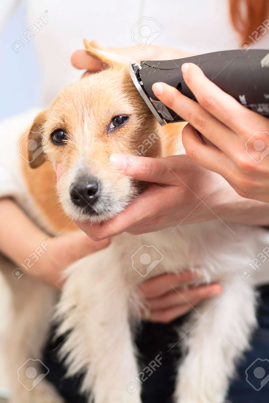 Hairdresser mows Jack Russell Terrier fur on the head with a trimmer Stock Photo - 27182098