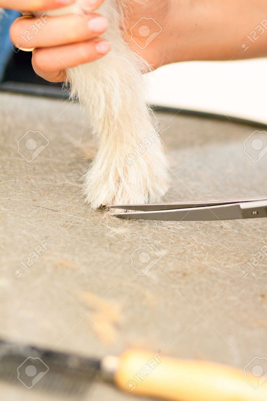 Hairdresser mows Jack Russell Terrier fur on the paw with a scissors Stock Photo - 27182100