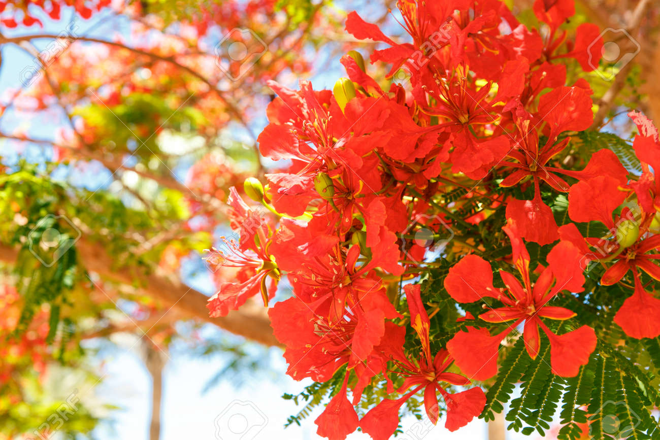 The Blooming Red Acacia Flowers Close Up Stock Photo Picture And