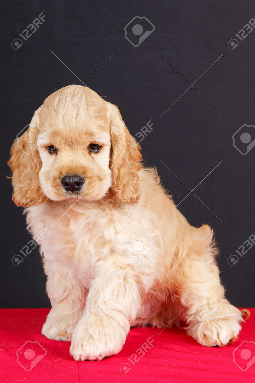 American Cocker Spaniel Puppy Sitting On Red Table Stock Photo Picture And Royalty Free Image Image 71126814