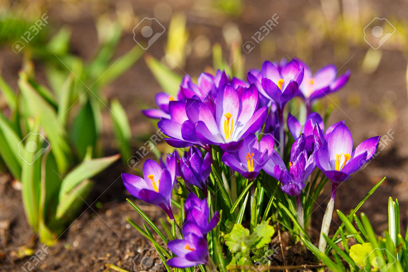 View Of Blooming First Spring Flowers Crocus Growing In Mountains