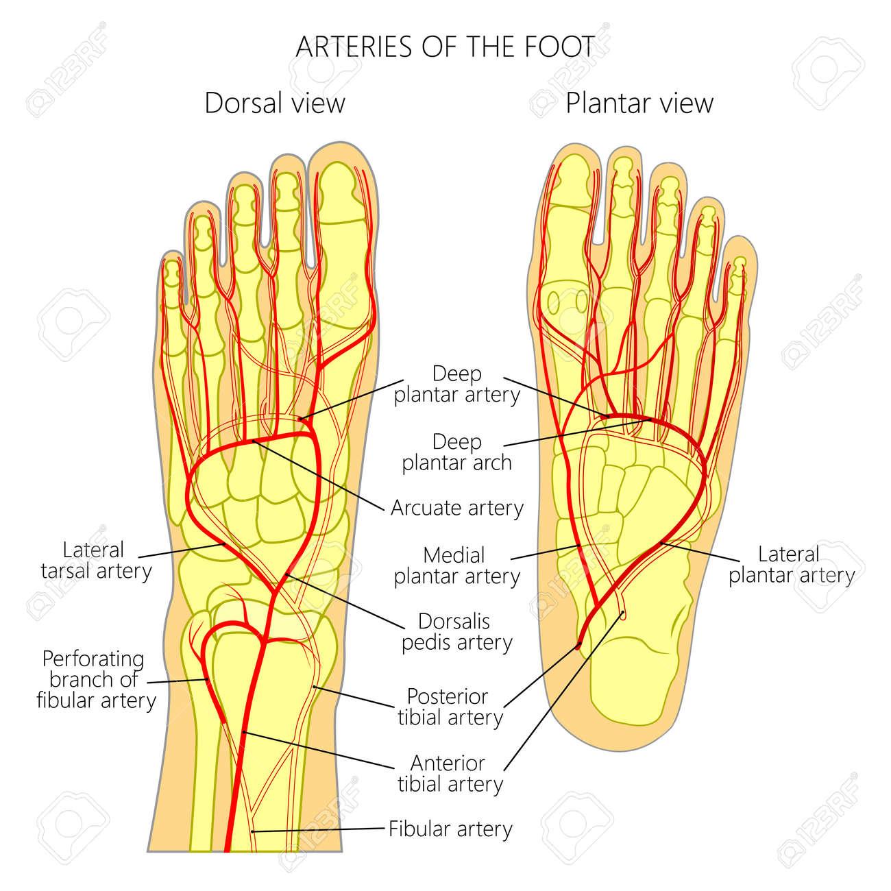 Arterien Des Fußes (dorsale Und Plantare Ansicht Eines Knöchels ...