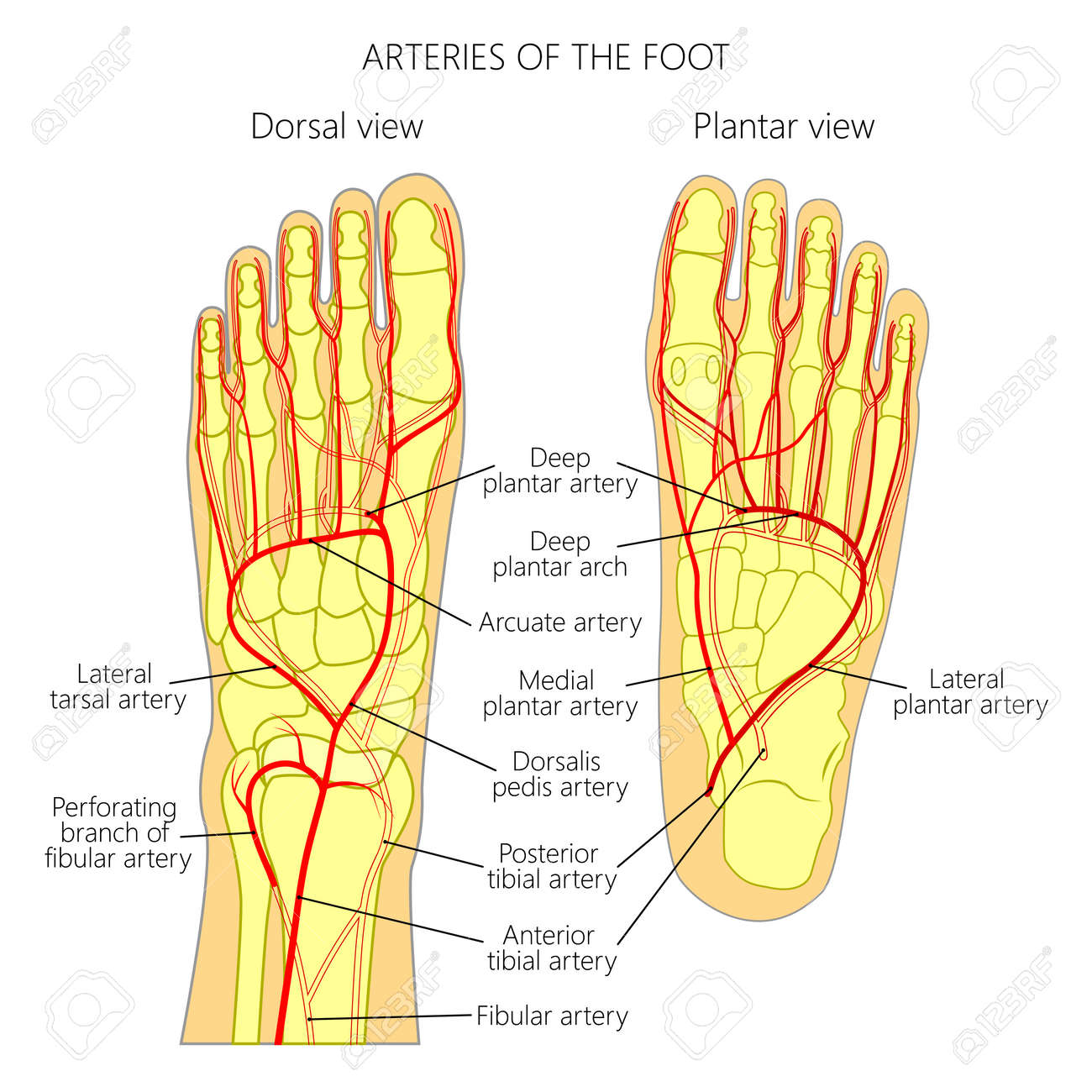 Arteries of the foot dorsal and plantar view of an ankle arteries of the foot dorsal and plantar view of an ankle diagram pooptronica