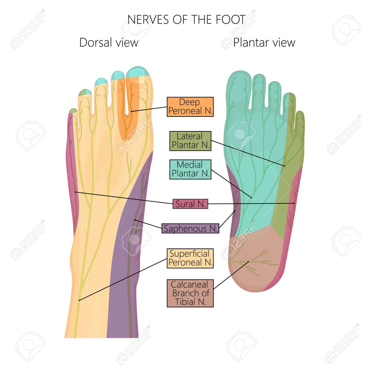 Ilustración Vectorial (diagrama) De Los Nervios Y La Inervación ...