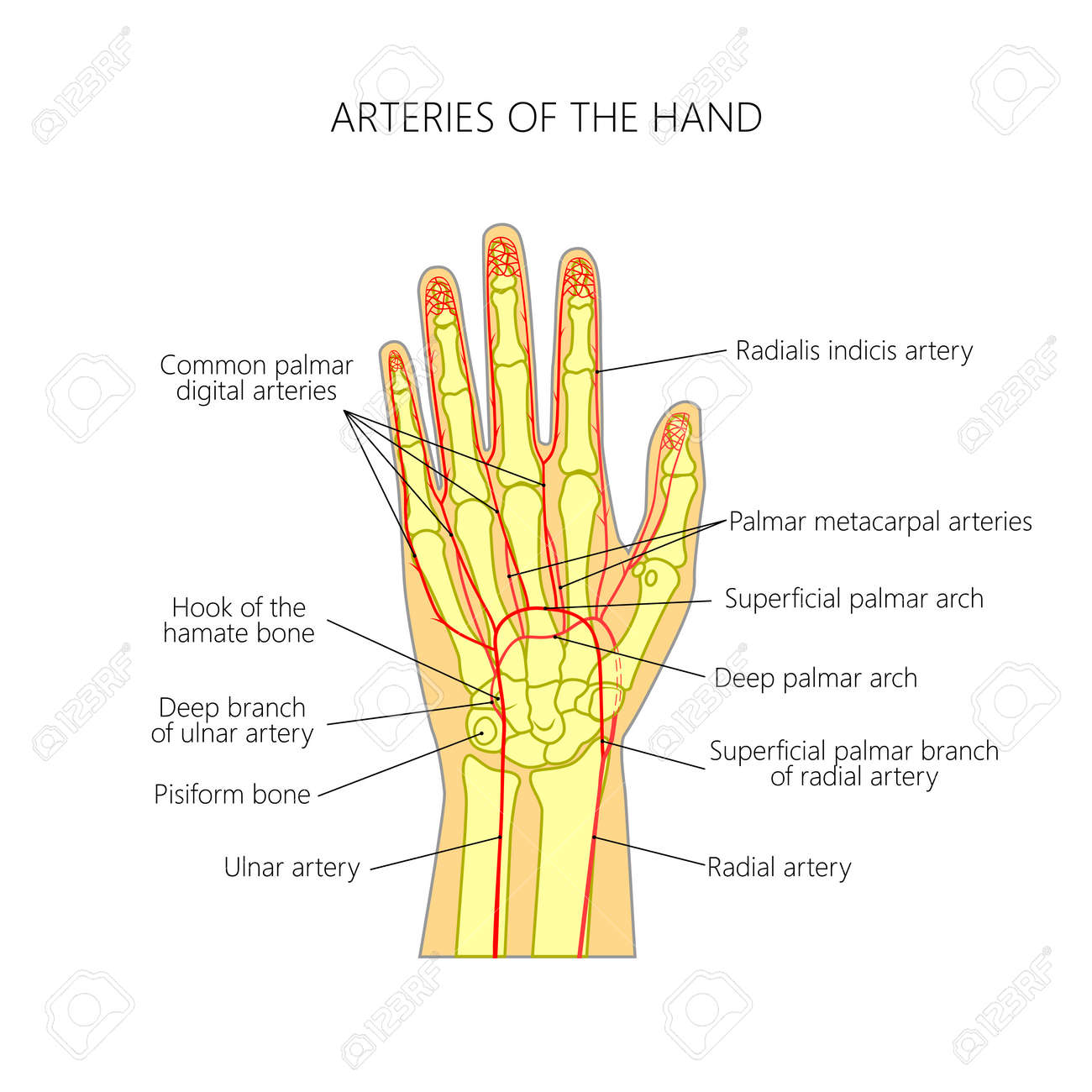 Diagram Of The Arteries To The Palmar Side Of The Human Hand ...