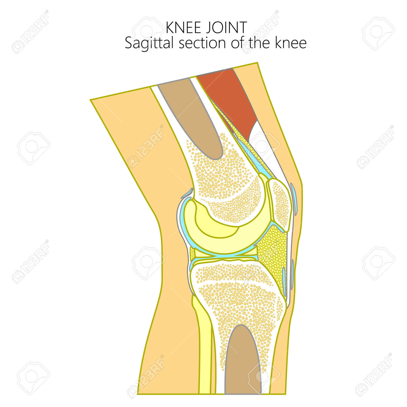 Vector illustration of a healthy human knee joint anatomy of vector vector illustration of a healthy human knee joint anatomy of the sagittal section of a knee side view for advertising medical publications ccuart Gallery