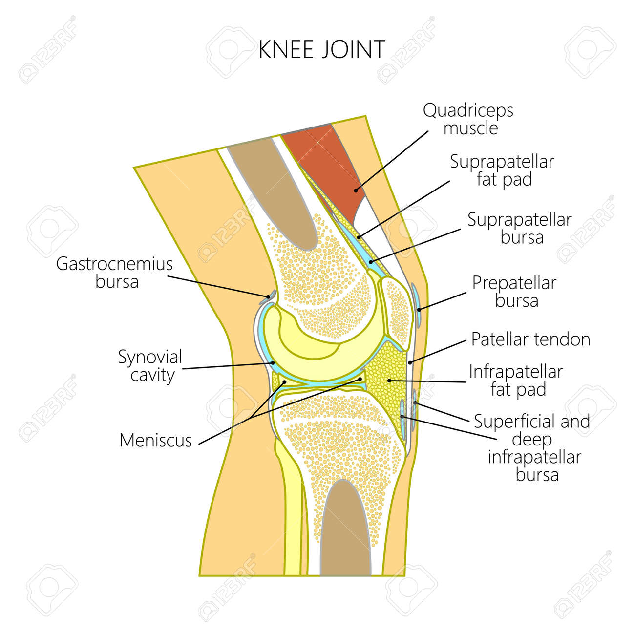 Vector Illustration Of A Healthy Knee Joint Anatomy Of The