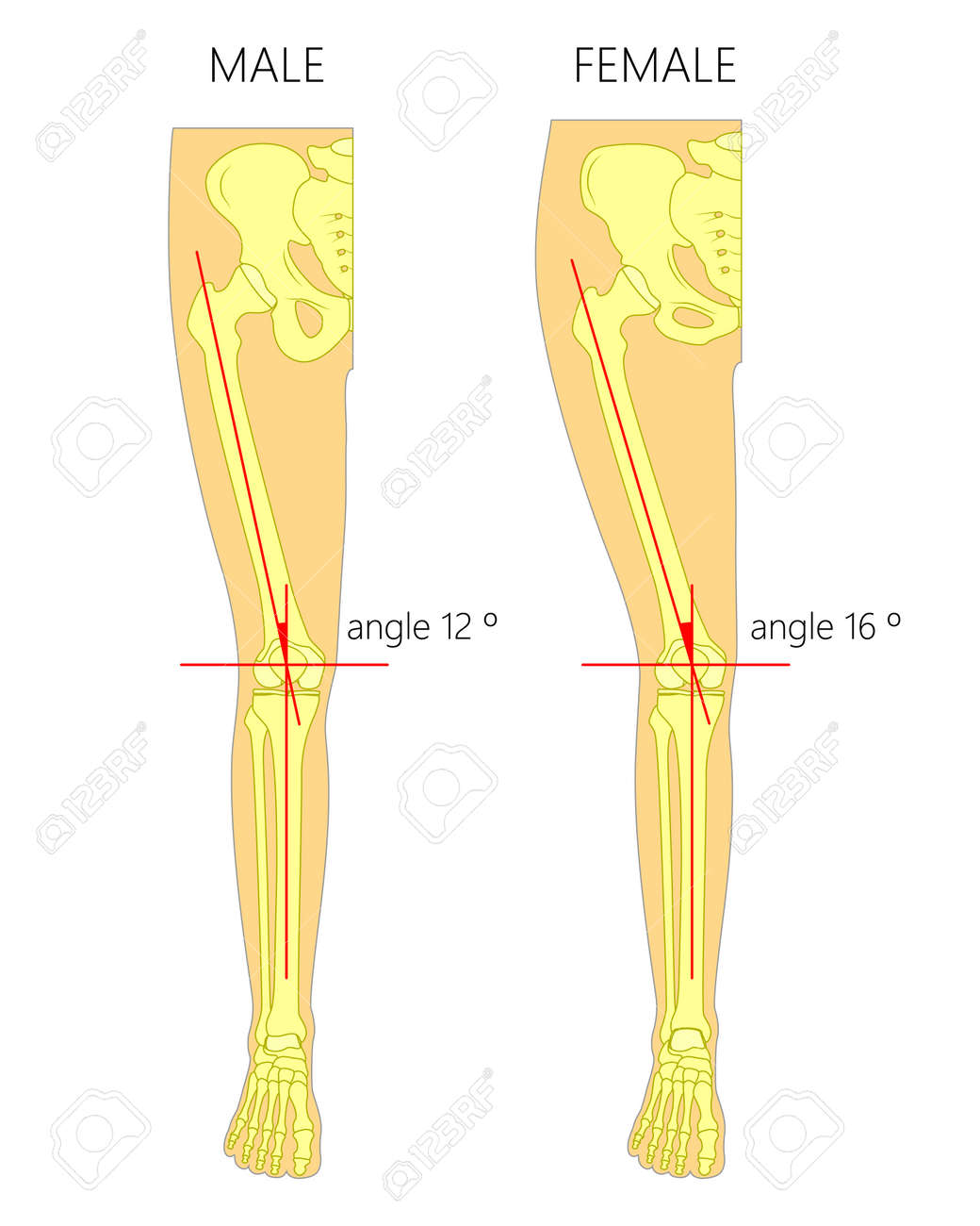 Vector Illustration Anatomy Of A Healthy Human Male And Female