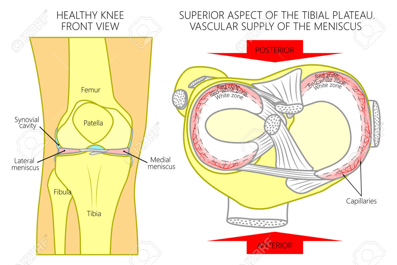 Vector Illustration. Front View Of A Healthy Human Knee, Anatomy ...