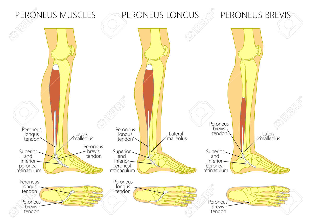 Vector Illustration Of Peroneus Longus And Peroneus Brevis Muscle ...